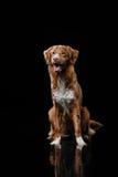 Persiga Nova Scotia Duck Tolling Retriever, cães jogam, saltam, correm, movem-se na água Imagem de Stock