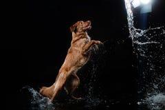 Persiga Nova Scotia Duck Tolling Retriever, cães jogam, saltam, correm, movem-se na água Imagens de Stock