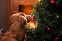 Persiga Nova Scotia Duck Tolling Retriever, la Navidad y el Año Nuevo, perro del retrato en un fondo del color del estudio Imagenes de archivo