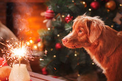 Persiga Nova Scotia Duck Tolling Retriever, o Natal e o ano novo, cão do retrato em um fundo da cor do estúdio Imagem de Stock