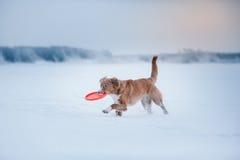 Persiga a Nova Scotia Duck Tolling Retriever que camina en el parque del invierno, jugando con el platillo volante Imagen de archivo