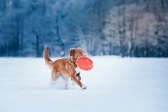 Persiga a Nova Scotia Duck Tolling Retriever que camina en el parque del invierno, jugando con el platillo volante Foto de archivo libre de regalías