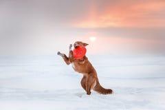 Persiga a Nova Scotia Duck Tolling Retriever que camina en el parque del invierno, jugando con el platillo volante Fotos de archivo