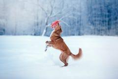 Persiga a Nova Scotia Duck Tolling Retriever que camina en el parque del invierno, jugando con el platillo volante Foto de archivo
