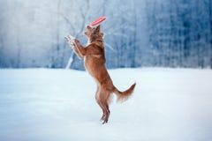 Persiga a Nova Scotia Duck Tolling Retriever que camina en el parque del invierno, jugando con el platillo volante Imagenes de archivo