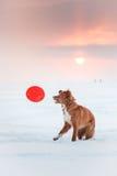 Persiga a Nova Scotia Duck Tolling Retriever que camina en el parque del invierno, jugando con el platillo volante Fotos de archivo libres de regalías