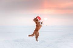 Persiga a Nova Scotia Duck Tolling Retriever que camina en el parque del invierno, jugando con el platillo volante Fotografía de archivo libre de regalías