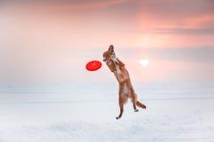 Persiga a Nova Scotia Duck Tolling Retriever que camina en el parque del invierno, jugando con el platillo volante Fotografía de archivo