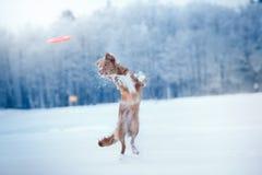 Persiga a Nova Scotia Duck Tolling Retriever que camina en el parque del invierno, jugando con el platillo volante Imagen de archivo libre de regalías
