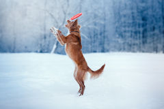 Persiga a Nova Scotia Duck Tolling Retriever que camina en el parque del invierno, jugando con el platillo volante Imágenes de archivo libres de regalías