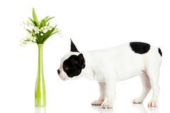Persiga o buldogue francês com as flores isoladas no fundo branco foto de stock