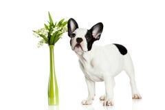 Persiga o buldogue francês com as flores isoladas no fundo branco Fotografia de Stock