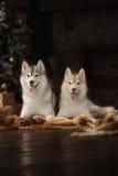 Persiga o cão de puxar trenós siberian da raça, o cão do retrato em um fundo da cor do estúdio, o Natal e o ano novo fotos de stock royalty free