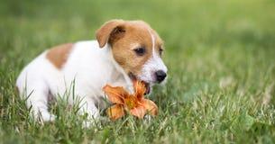 Persiga o cachorrinho feliz do animal de estimação que mastiga uma flor - ideia da bandeira da Web fotografia de stock