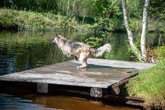 Persiga o corredor e o salto na água imagens de stock royalty free