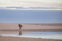 Persiga o corredor pela margem na praia de Paarden Eiland no nascer do sol Fotos de Stock Royalty Free