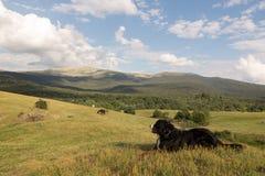 Persiga o encontro sobre a grama no vale verde no por do sol Imagens de Stock