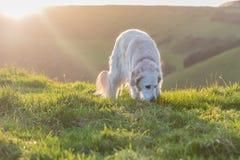 Persiga o jogo no campo no monte no por do sol Foto de Stock