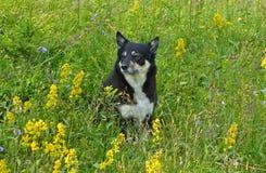 Persiga o pastor Lapinporokoira de Lapponian ou o cão da rena do Lapp ou o Lapsk Vallhund entre gramas e flores do campo Paisagem imagens de stock royalty free