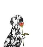 Persiga o presente uma rosa e aspirar-lo Imagem de Stock Royalty Free