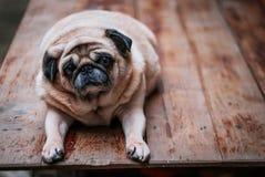 Persiga o Pug que olha na câmera Fotos de Stock Royalty Free
