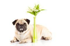 Persiga o pugdog isolado no vaso branco do fundo com estação de mola das flores Fotos de Stock Royalty Free