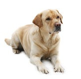 Persiga o Retriever de Labrador da raça isolado no CCB branco fotografia de stock
