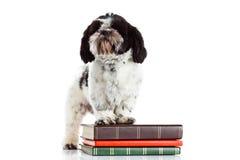 Persiga o shihtzu com os livros isolados na aprendizagem branca do conhecimento de fundo Fotos de Stock Royalty Free