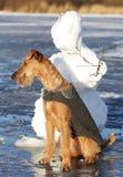 Persiga o terrier irlandês em uma caminhada foto de stock royalty free