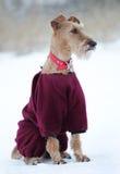 Persiga o terrier irlandês não à caminhada fotos de stock royalty free