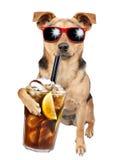 Persiga os óculos de sol vestindo que bebem o cocktail do libre de Cuba isolado fotografia de stock