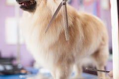 Persiga os cães mestres da preparação das mulheres do corte de cabelo de Pomeranian em um salão de beleza foto de stock