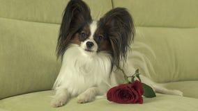 Persiga Papillon con la rosa del rojo en amor el día de tarjetas del día de San Valentín Imagen de archivo