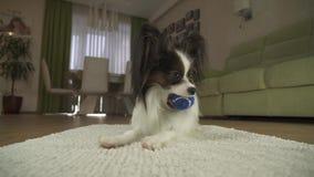Persiga Papillon que joga com uma bola em um tapete no vídeo da metragem do estoque da sala de visitas video estoque
