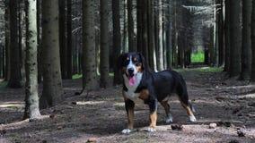 Persiga a posição na floresta spruce em um dia de verão ensolarado vídeos de arquivo
