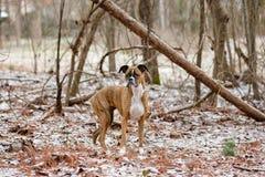 Persiga a posição nas madeiras nevado que olham na distância Fotos de Stock Royalty Free