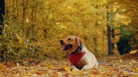 Persiga a raça Labrador em uma caminhada em uma floresta bonita do outono video estoque