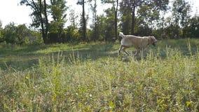 Persiga a raça Labrador ou o golden retriever que corre para buscar a vara exterior no campo Movimento lento filme