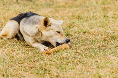 Persiga a roedura em um osso na grama Foto de Stock Royalty Free