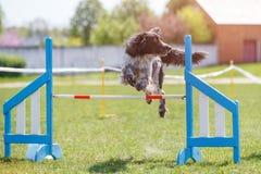 Persiga saltam sobre o obstáculo no curso na experimentação da agilidade fotos de stock royalty free