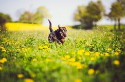Persiga ter o divertimento no campo de botões de ouro da primavera Fotografia de Stock