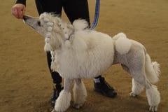 Persiga un caniche blanco con un cuello azul en una exposición de perros Caniche blanco fotos de archivo libres de regalías
