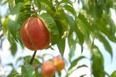 Persika på persikaträd Arkivfoton