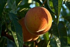 Persika på trädet Royaltyfri Foto