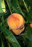 Persika på trädet Royaltyfria Bilder