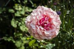 Persika Rose Flower royaltyfri foto