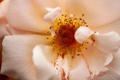 Persika Rose Macro royaltyfri foto