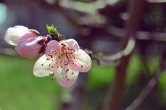 Persikablomma på våren Arkivbilder