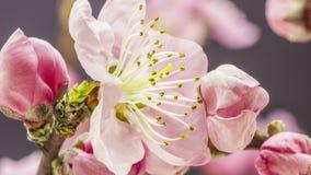 Persikablomma som blomstrar tidschackningsperiod