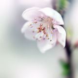 Persika i blom Royaltyfria Foton